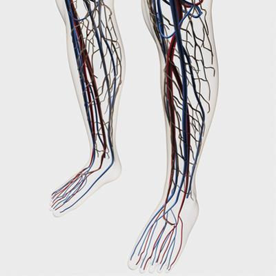 Medical Illustration of Arteries, Veins And Lymphatic System in Human Legs by Stocktrek Images