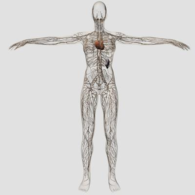 Medical Illustration of Female Lymphatic System with Heart by Stocktrek Images