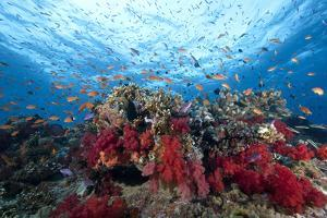 Schooling Anthias Fish and Healthy Corals of Beqa Lagoon, Fiji by Stocktrek Images