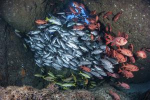 Schooling Fish Swim in a Cavern Near Cocos Island, Costa Rica by Stocktrek Images