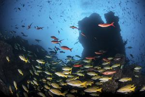 Schooling Fish Swim over a Rocky Reef Near Cocos Island, Costa Rica by Stocktrek Images