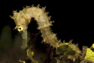 Side View of a Pale Cream Colored Thorny Seahorse