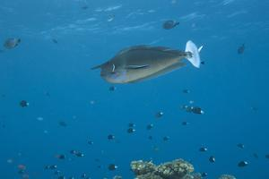 Spotted Unicornfish Swimming in Fiji Waters by Stocktrek Images
