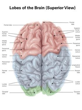 Superior View of Human Brain with Colored Lobes and Labels by Stocktrek Images