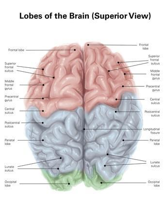Superior View of Human Brain with Colored Lobes and Labels