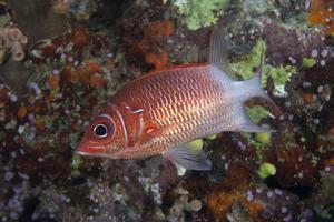 Tailspot Squirrelfish Swimming in Fiji by Stocktrek Images