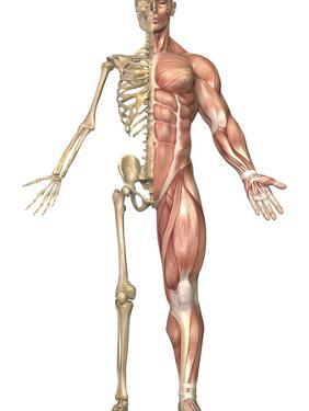 The Human Skeleton And Muscular System, Front View by Stocktrek Images