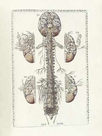 The Science of Human Anatomy by Bartholomeo Eustachi
