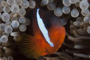 Tomato Clownfish in its Host Anenome, Fiji by Stocktrek Images