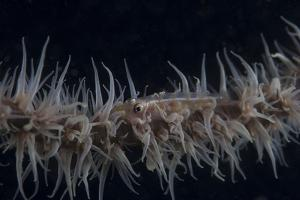 Whip Coral Goby, Fiji by Stocktrek Images
