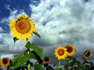 Storm Clouds Form the Background for a Field of Colorful Sunflowers