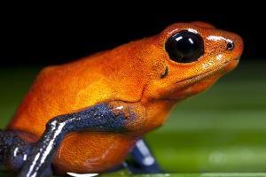 Strawberry Poison Dart Frog in Costa Rica