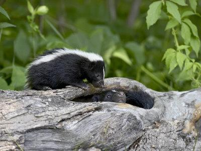 https://imgc.allpostersimages.com/img/posters/striped-skunk-baby-on-log-with-adult-in-log-in-captivity-sandstone-minnesota-usa_u-L-P7NYBK0.jpg?p=0