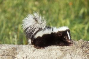 Striped Skunk Baby