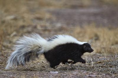https://imgc.allpostersimages.com/img/posters/striped-skunk-mephitis-mephitis-bosque-del-apache-national-wildlife-refuge-new-mexico-usa_u-L-PWFJLF0.jpg?p=0