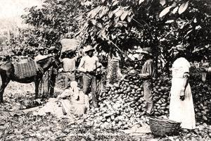 Opening Cocoa Pods, Trinidad, Trinidad and Tobago, C1900s by Strong