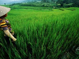 Wet Rice Is Commonly Grown in Terraced Mountain Valleys of Northern Vietnam, Tran Nua by Stu Smucker