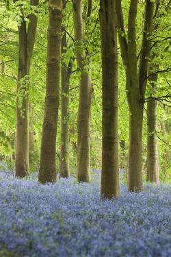 Bluebell Wood, Chipping Campden, Cotswolds, Gloucestershire, England, United Kingdom, Europe by Stuart Black