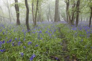 Bluebell Wood in Morning Mist, Lower Oddington, Cotswolds, Gloucestershire, United Kingdom, Europe by Stuart Black