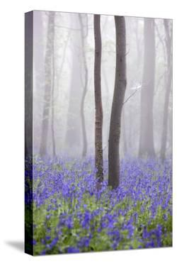 Bluebell Wood in Morning Mist, Lower Oddington, Cotswolds, Gloucestershire, United Kingdom, Europe by Stuart Black