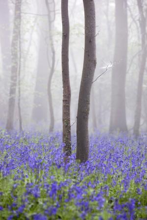 Bluebell Wood in Morning Mist, Lower Oddington, Cotswolds, Gloucestershire, United Kingdom, Europe