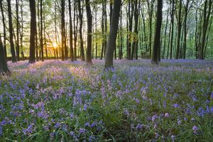 Bluebell Wood, Stow-On-The-Wold, Cotswolds, Gloucestershire, England, United Kingdom by Stuart Black