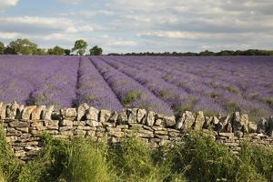 Cotswold Lavender field with Cotswold dry stone wall, Snowshill, Cotswolds, Gloucestershire, Englan by Stuart Black