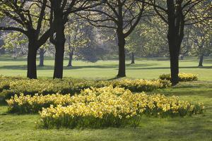 Daffodils, Green Park, London, England, United Kingdom, Europe by Stuart Black