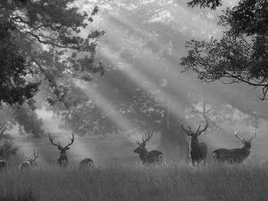 Deer in Morning Mist, Woburn Abbey Park, Woburn, Bedfordshire, England, United Kingdom, Europe by Stuart Black