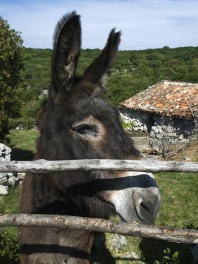 Donkey in Rural Setting, Cres Island, Kvarner Gulf, Croatia, Europe by Stuart Black