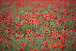 Field of Red Poppies, Chipping Campden, Cotswolds, Gloucestershire, England, United Kingdom, Europe by Stuart Black