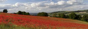 Field of Red Poppies, Near Winchcombe, Cotswolds, Gloucestershire, England, United Kingdom, Europe by Stuart Black