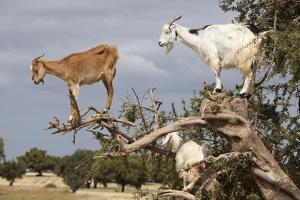 Goats Up Argan Tree, Near Essaouira, Morocco, North Africa, Africa by Stuart Black