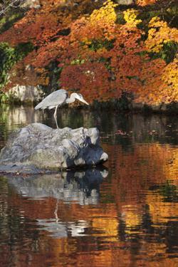 Heron on Lake in Autumn, Eikan-Do Temple, Northern Higashiyama, Kyoto, Japan by Stuart Black