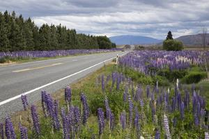 Highway 8 Passing Through Field of Lupins, Near Lake Tekapo, Canterbury Region by Stuart Black