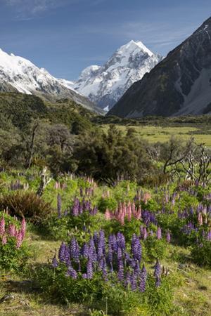 Lupins and Mount Cook, Mount Cook Village, Mount Cook National Park by Stuart Black