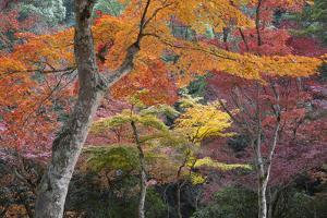 Maple Trees in Autumn, Momijidani Park (Japanese Maple Park), Miyajima Island by Stuart Black