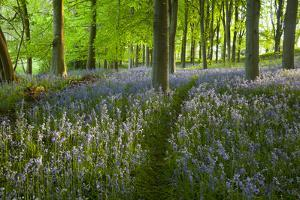 Path Through Bluebell Wood, Chipping Campden, Cotswolds, Gloucestershire, England by Stuart Black