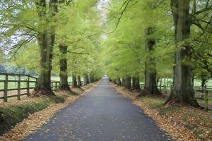 Road leading through avenue of beech trees with fallen autumn leaves, Batsford, Gloucestershire, En by Stuart Black
