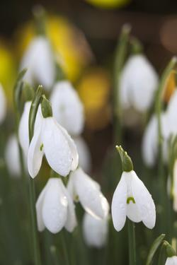 Snowdrops, Cotswolds, Gloucestershire, England, United Kingdom, Europe by Stuart Black