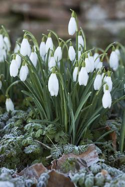 Snowdrops in Frost, Cotswolds, Gloucestershire, England, United Kingdom, Europe by Stuart Black