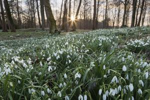 Snowdrops in Woodland at Sunset, Near Stow-On-The-Wold, Cotswolds, Gloucestershire, England by Stuart Black