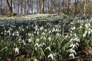 Snowdrops in Woodland, Near Stow-On-The-Wold, Cotswolds, Gloucestershire, England, UK by Stuart Black