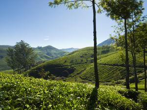 View over Tea Plantations, Near Munnar, Kerala, India, Asia by Stuart Black