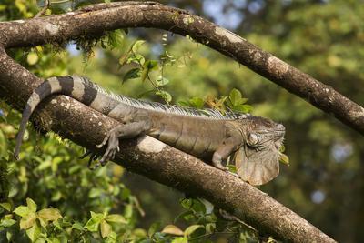 A Green Iguana (Iguana Iguana) (Common Iguana) (American Iguana), in the Jungle of Costa Rica