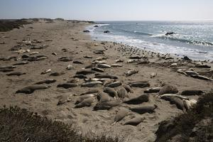 Piedras Blancas Elephant Seal Rookery by Stuart