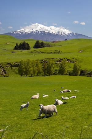 Sheep Grazing Beneath Mount Ruapehu