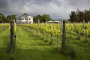Vineyards of the Cambridge Road Winery by Stuart