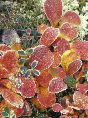 Bearberry and Dwarf Cranberries in Denali National Park, Alaska, USA by Stuart Westmoreland