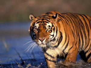 Bengal Tiger, India by Stuart Westmoreland
